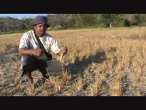 Ratusan Hektar Sawah di TTS Terancam Gagal Panen