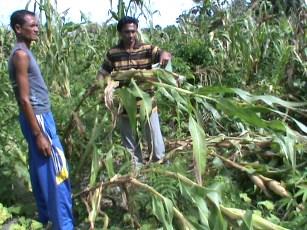 Puting Beliung Ratakan Puluhan Hektar Tanaman Warga