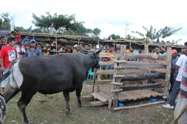 Puluhan Sapi Ramaikan Kontes Ternak Bupati TTU