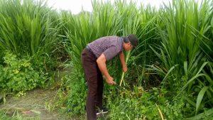 Rumput Odot Berhasil Dikembangkan jadi Pakan Ternak, Cukup Membantu PAD NTT