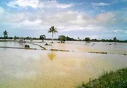 Areal persawahan yang tersapu banjir bandang (foto: Palce Amalo/MI)