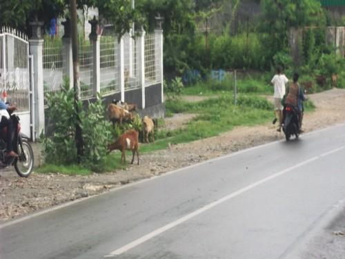 Warga Kota Kupang Dihimbau Kandangkan Hewan Peliharaan