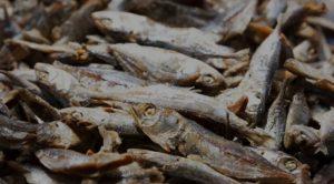 DKPP Mabar Musnahkan 1,9 Ton Ikan Asin Berformalin