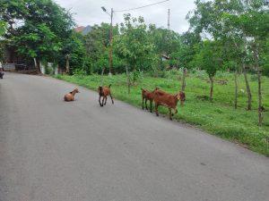 Ternak di Kota Kupang Tak Dikandangkan, Tanaman Warga Dimakan